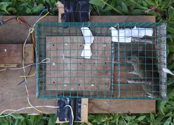Tikus tertangkap dengan perangkap tikus elektronik